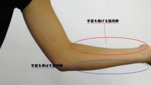 手首に関する筋肉