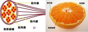 狭い意味の筋膜の説明