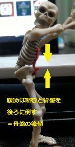 腹直筋と骨盤の関係