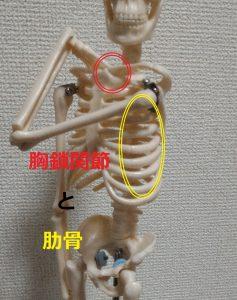 胸鎖関節と肋骨