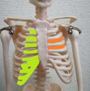 肋骨について