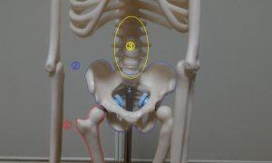骨盤周りの骨