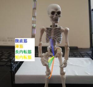 恥骨結合に関係する筋肉