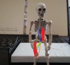 恥骨結合に関係する筋肉の働き